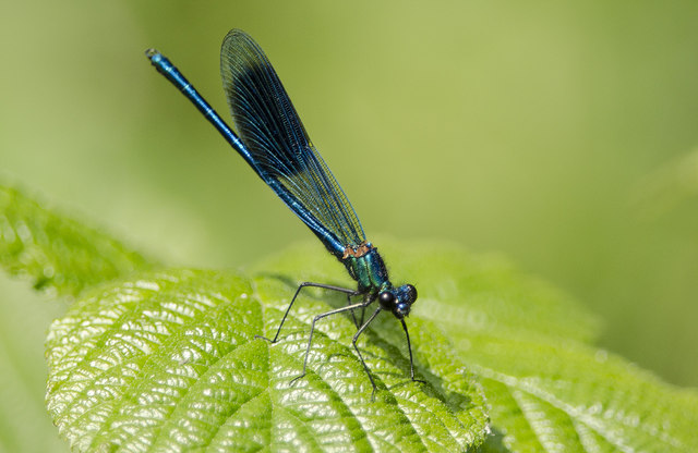Banded Demoiselle beside the River Ouse