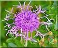 SU6485 : Greater Knapweed, Ipsden, Oxfordshire : Week 25