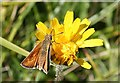 SY8279 : Lulworth Skipper by Anne Burgess