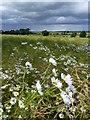 NT7641 : Ox-Eye Daisies : Week 27