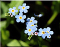 J3470 : Forget-me-not, Lagan towpath, Stranmillis, Belfast : Week 27