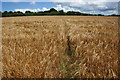 SW5433 : Path through wheat near Tregethas Farm by Bill Boaden