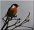 SS8528 : Stonechat perched on dead gorse, West Anstey, Devon : Week 27