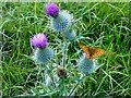 SD9671 : Silver-washed Fritillary On A Scottish Thistle : Week 29