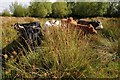 SO8446 : Cattle on Ashmoor Common by Philip Halling