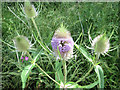 SP9314 : Flower head of Teasel at College Lake, near Tring by Chris Reynolds