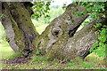 J3469 : An oak tree with four trunks, Belvoir forest, Belfast (August 2014) by Albert Bridge