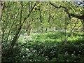 SX3170 : Ramsons near Kerney Bridge by Derek Harper