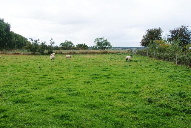 Sheep near Woodcock Heath