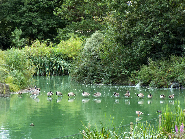 Canada geese in a row