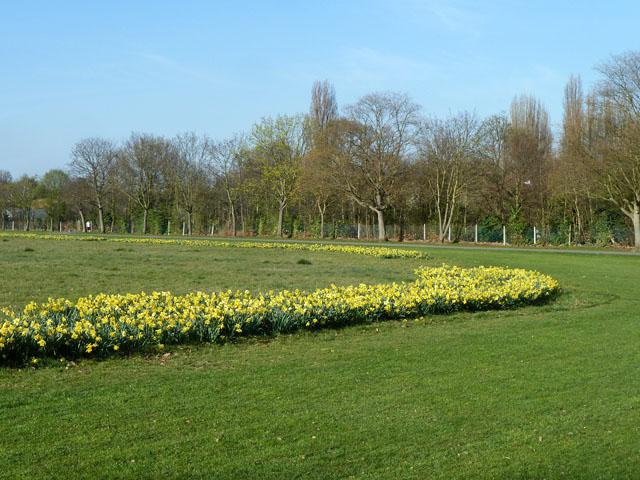 Arc of daffodils