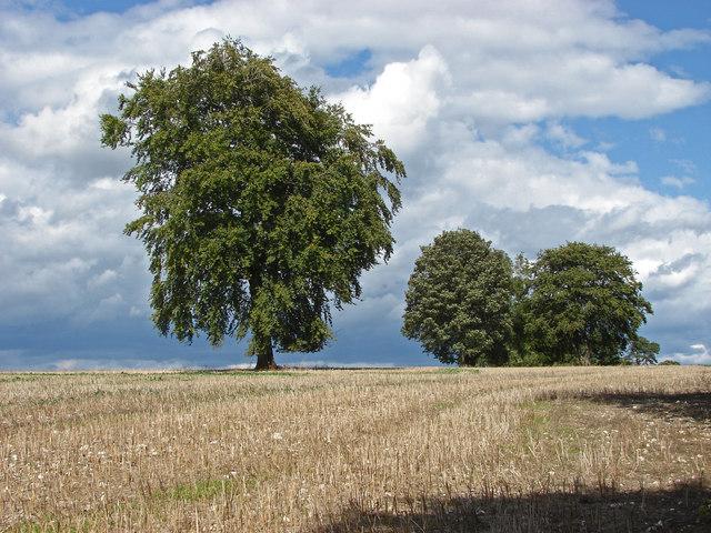 Trees, Clandon Downs