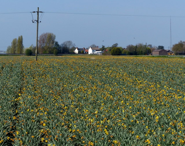 Field of daffodils along Fengate Road