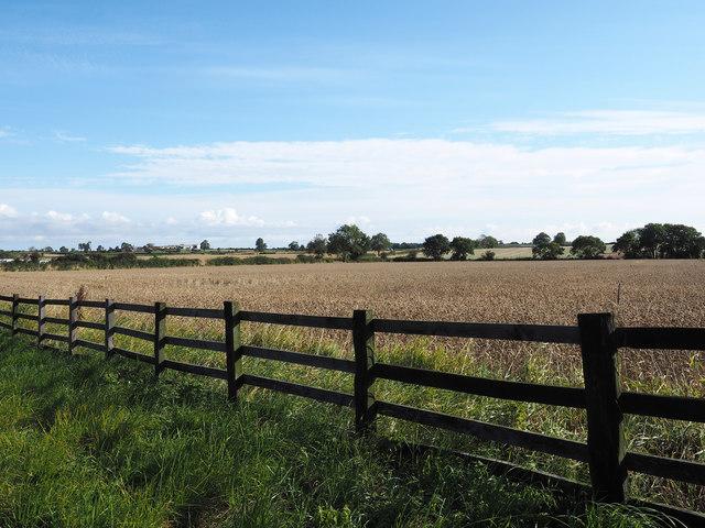 Wheat field beyond wooden fence