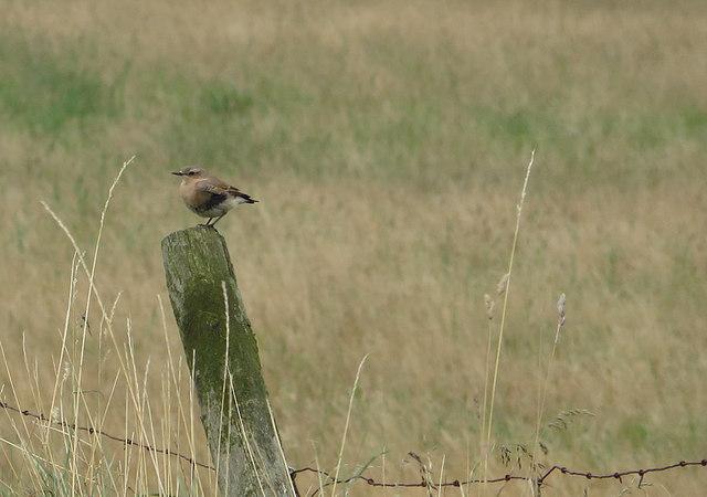 Wheatear on fencepost