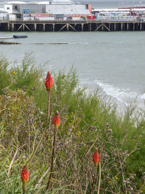 Red Hot Pokers on the Cliffs, Clacton, Essex