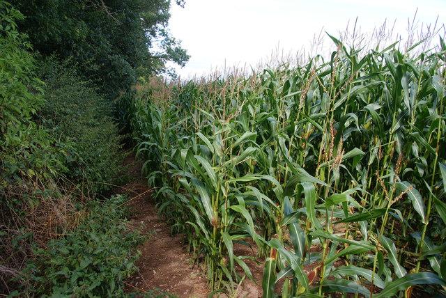 Path through a field of maize