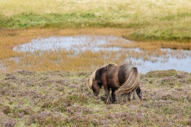 Shetland pony beside Trolla Water, Baltasound