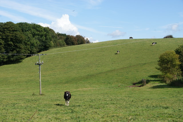 Cows on Loxley Bank