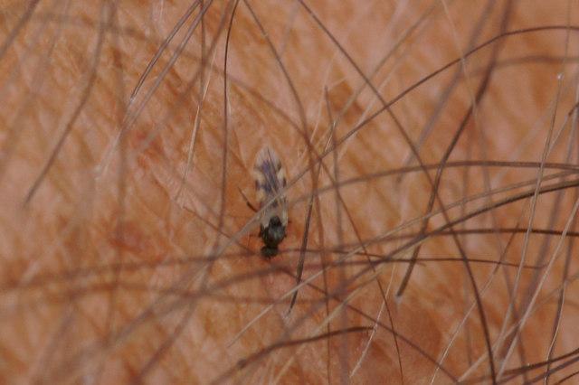 The biting midge Culicoides impunctatus, Trolla Water, Baltasound
