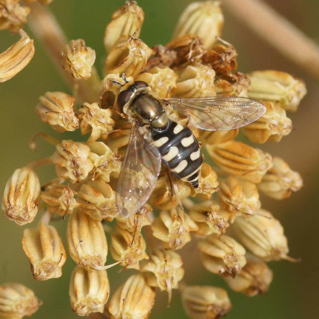The hoverfly Eupeodes corollae, Baltasound school