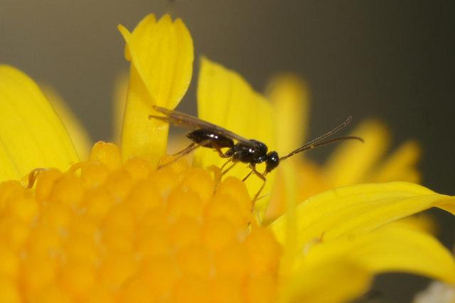 A Brachonid wasp, Baltasound school