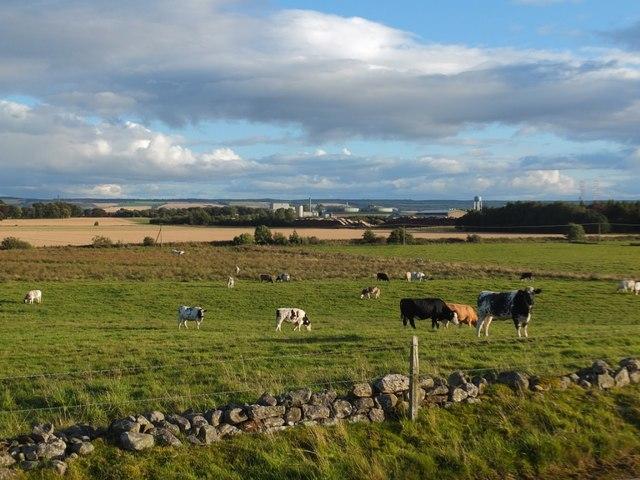 Cattle, Broomhill