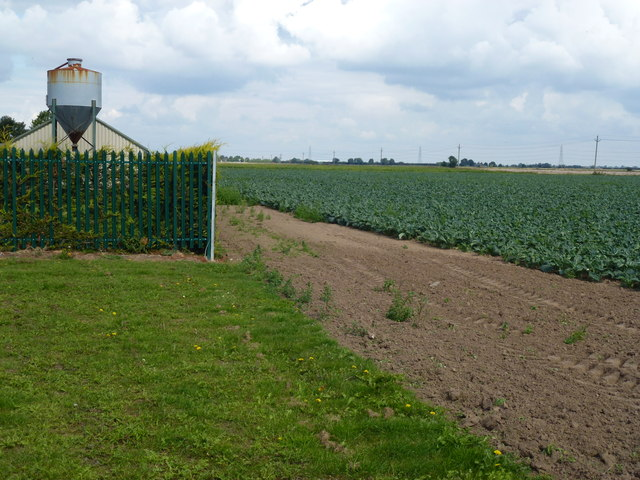 Silo and cabbage crop north of Scoldhall Lane near Surfleet