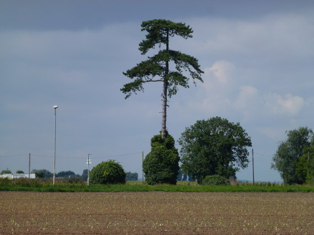 Tall fir tree near Surfleet, Spalding