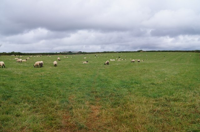 Grazing sheep - west of Petrockstowe