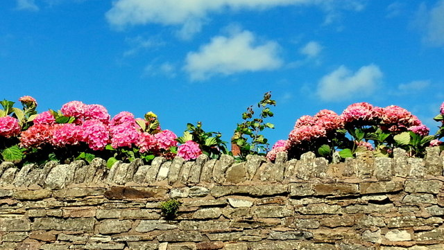 Hydrangeas and a stone wall
