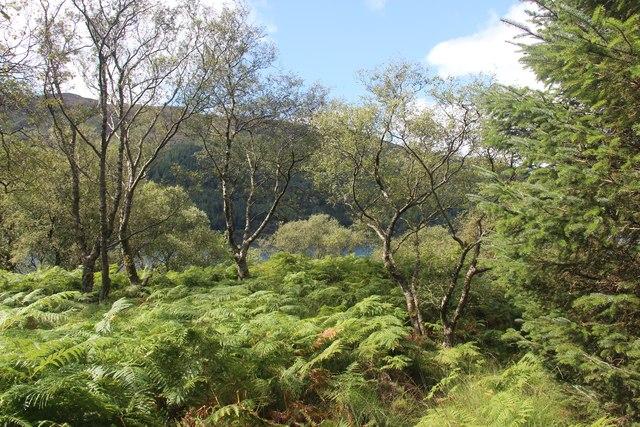 Birch and bracken by Loch Striven