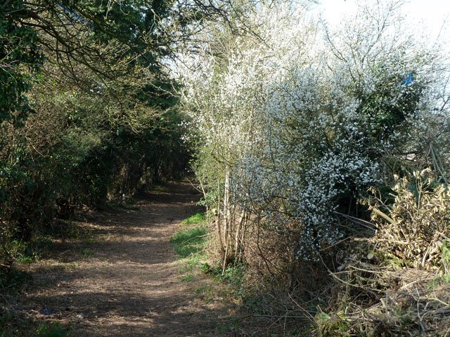 Blackthorn blossom along the bridleway