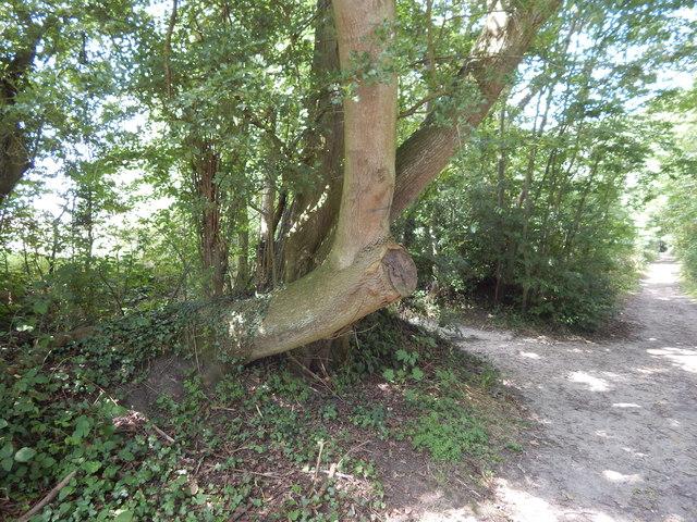 Tree near path junction