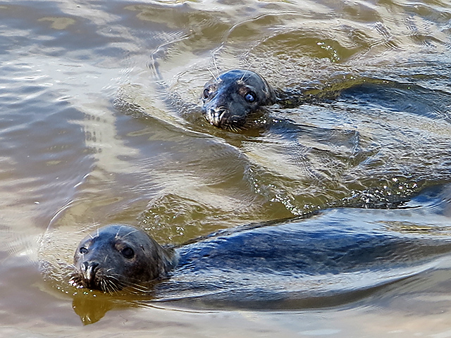 Seals in the River Ythan