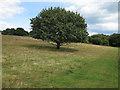TM4667 : Oak tree in clearing at RSPB Minsmere by Roger Jones