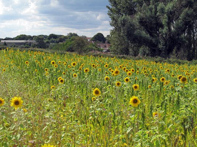 Sunflower field near Eastbridge