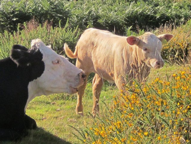 Cow and calf, Swallerton Gate