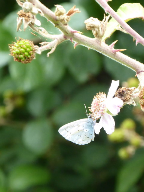 Holly Blue butterfly (Celastrina argiolus)