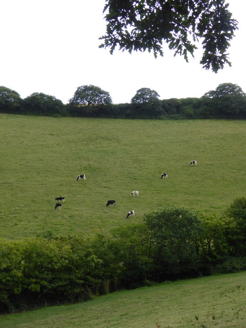 Cattle on the side of the valley at Nansidwell