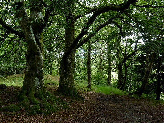 Old beech wood south-east of Strata Florida, Ceredigion