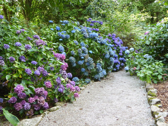 Hydrangeas in Trelissick Gardens