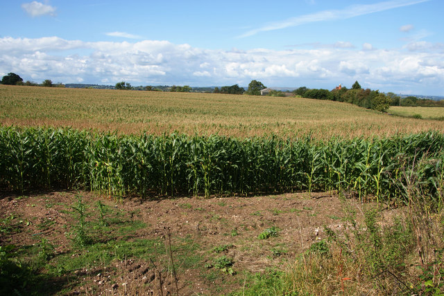 A field of maize on the edge of Uttoxeter