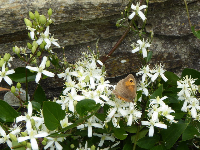 Meadow Brown butterfly at Trelissick gardens