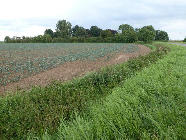 Crop near Elm Tree Farm, Gosberton