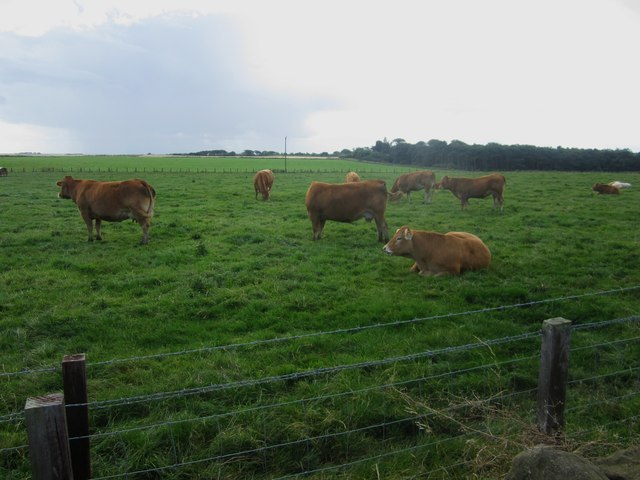 Cattle grazing at Sea Houses