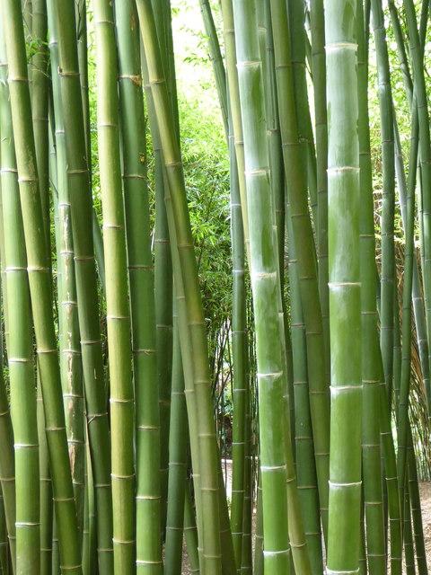 Bamboo canes at Trebah Gardens