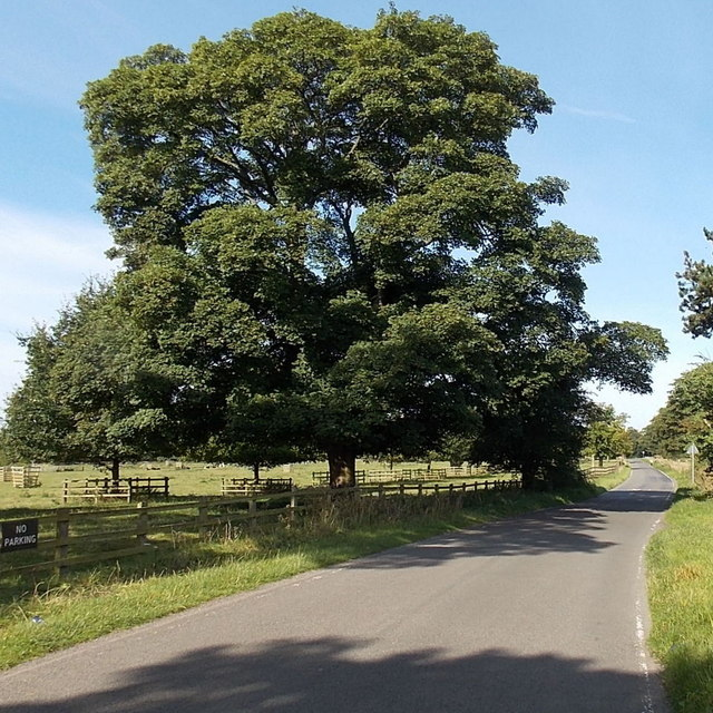 Dominant tree at the edge of Cadeby Lane near Market Bosworth