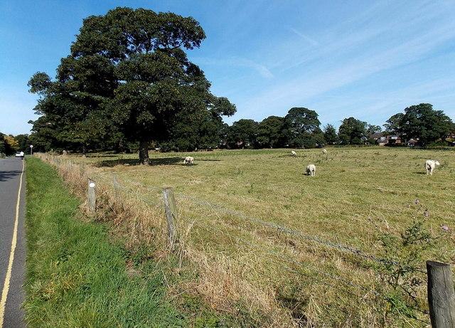 Grazing sheep near  Market Bosworth
