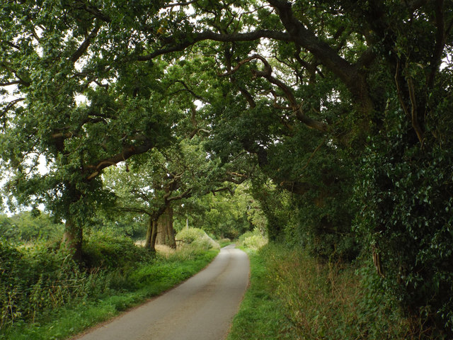 Oaks by the lane to Trap's Green